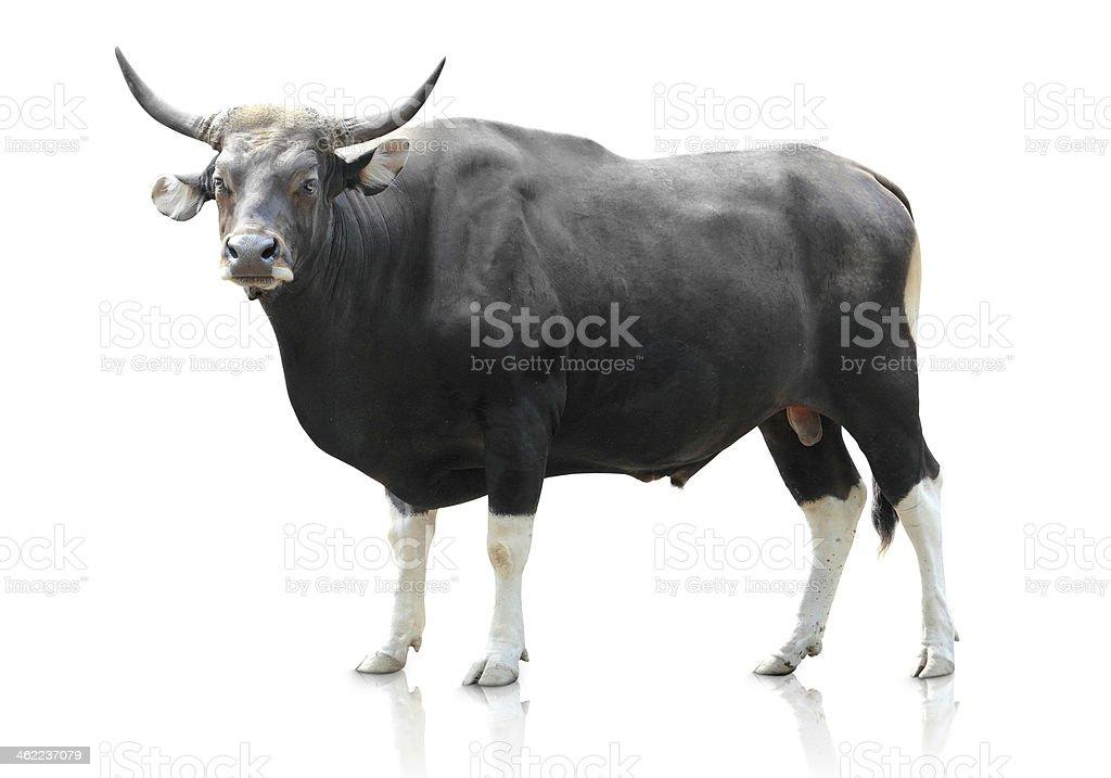 black big cow on white background stock photo