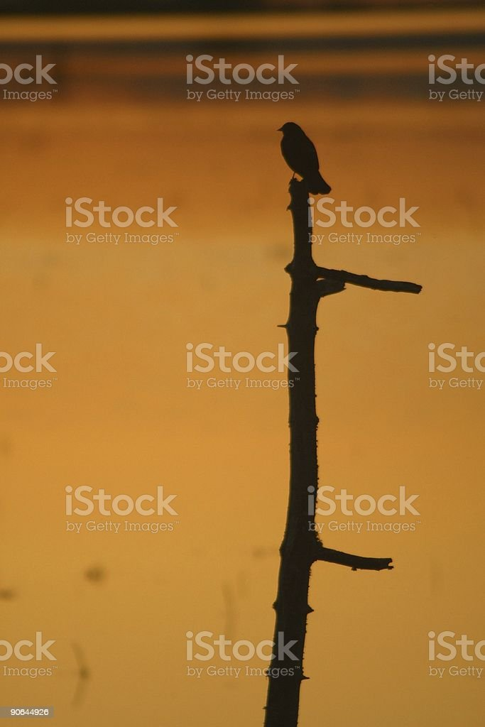 Black bird 2. stock photo
