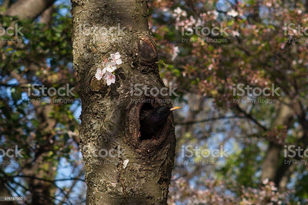 Black Bird and its Nest in a Cherry Tree stock photo