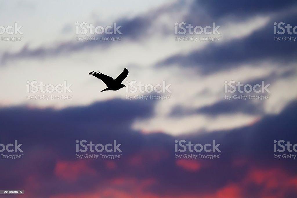 Black bird  at sunset stock photo