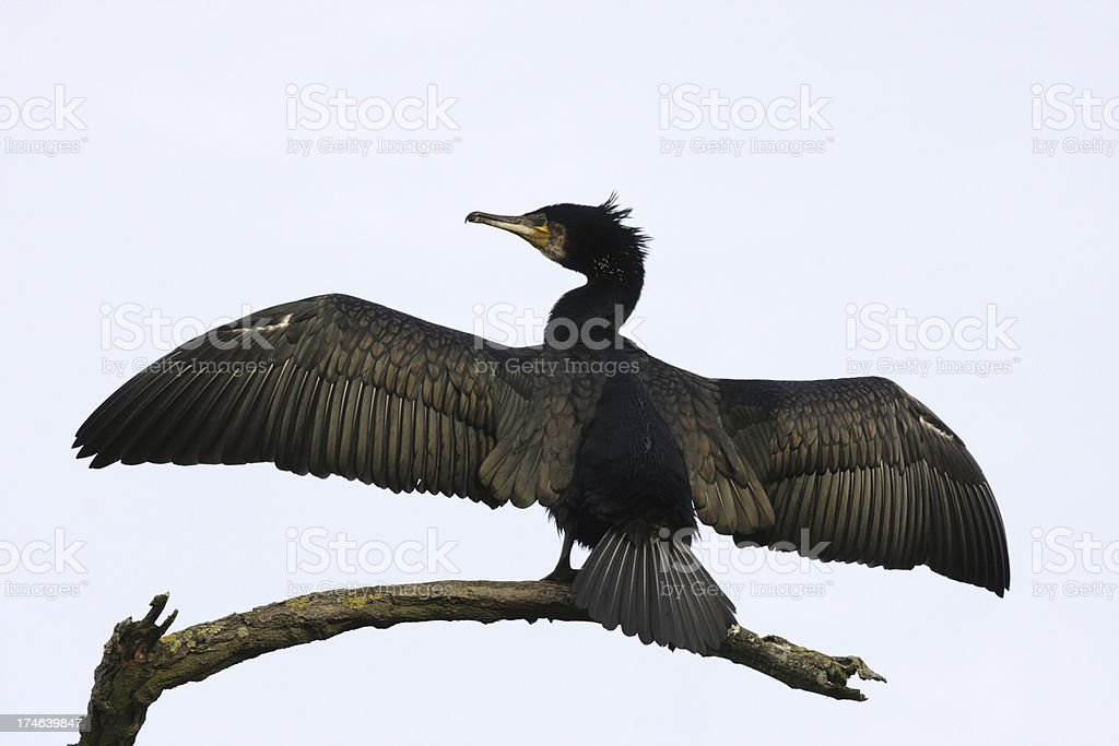 Black bird cormorant Phalacrocorax carbo hanging wings out to dry stock photo