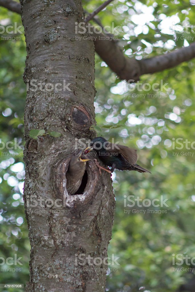 Black Bird Feeding its Baby stock photo