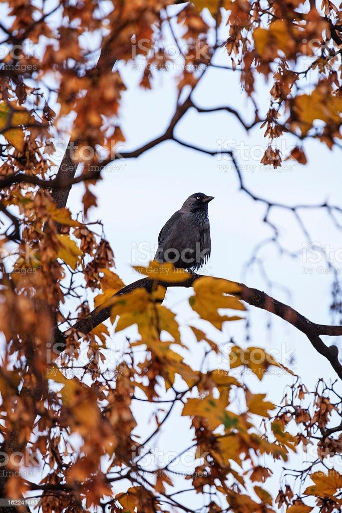 Black bird in autumn royalty-free stock photo