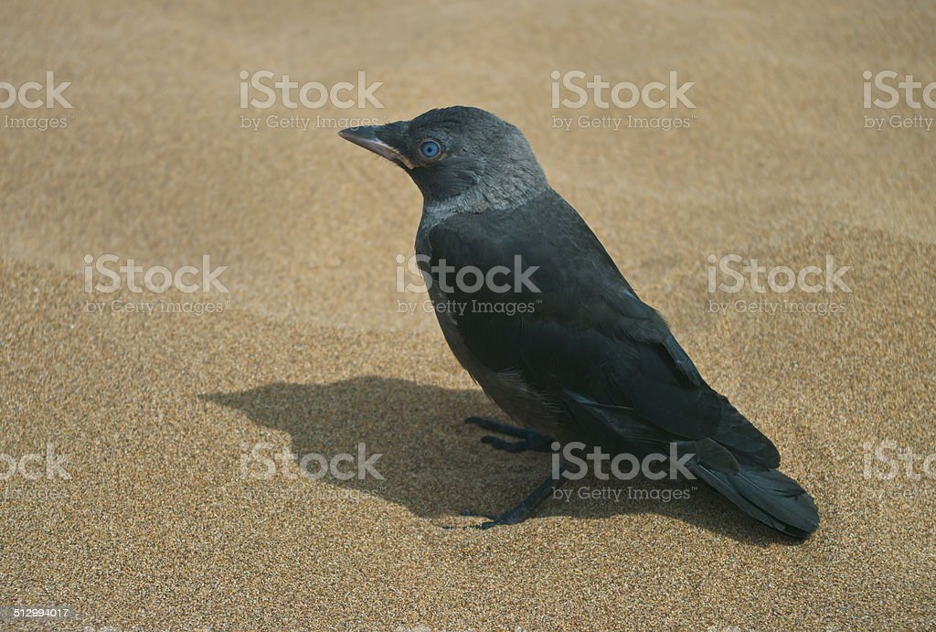 black bird on sand stock photo