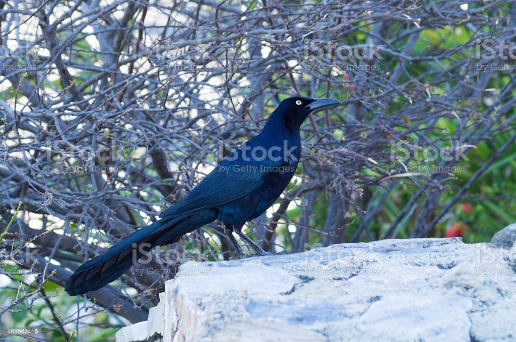 Black Bird ( Quiscalus mexicanus ) perching over a rock. stock photo