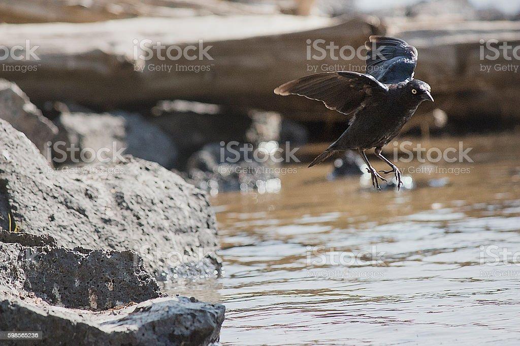 Black bird taking flight stock photo