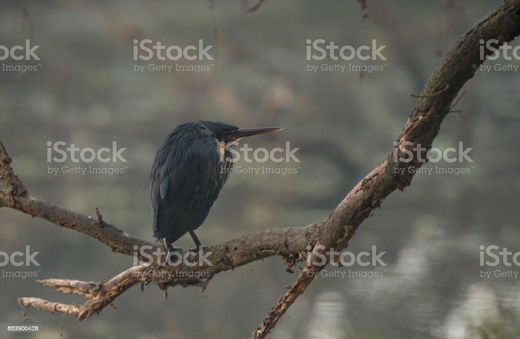 Black Bittern stock photo
