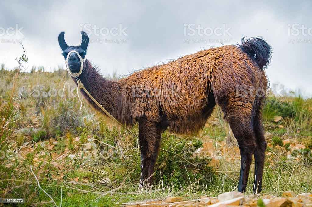 Black Bolivian Lama stock photo