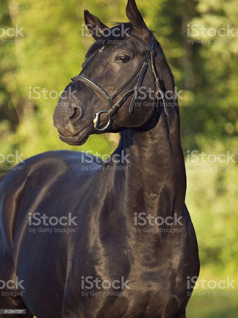 black breed  stallion stock photo