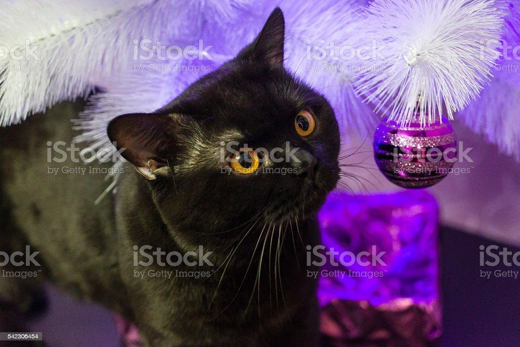 Black British cat near a white Christmas tree stock photo