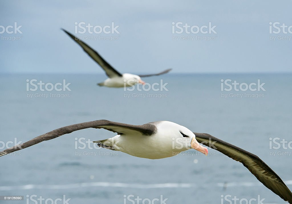 Black browed albatross flying over the sea stock photo