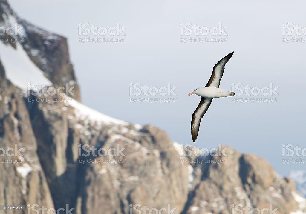 Black browed albatross in flight stock photo