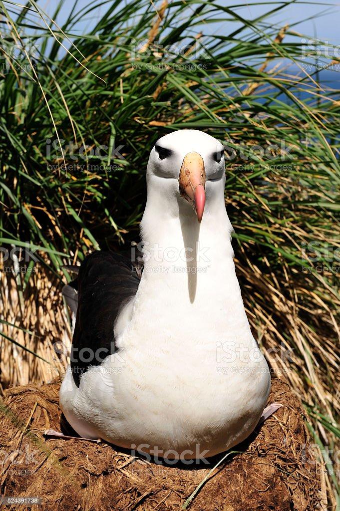 Black browed albatross Saunders Island stock photo