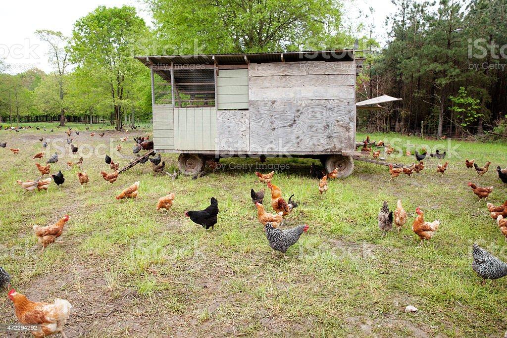 black, brown, and white chickens walking around a chicken coop stock photo