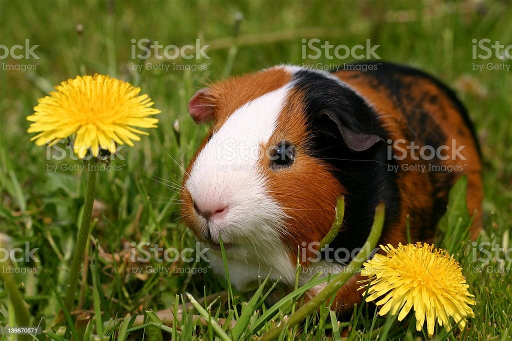 Black, brown and white Guinea pig sitting in the grass stock photo