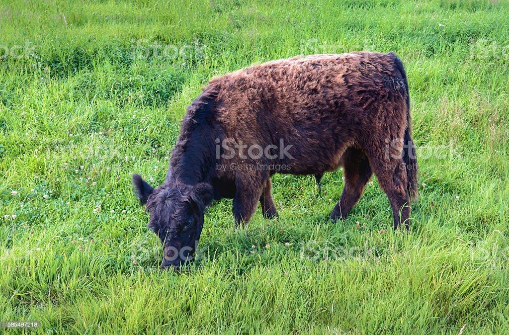 Black brown Galloway bull grazing on an embankment stock photo
