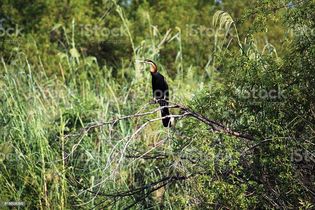 Black brown snake bird in Namibia, Africa stock photo