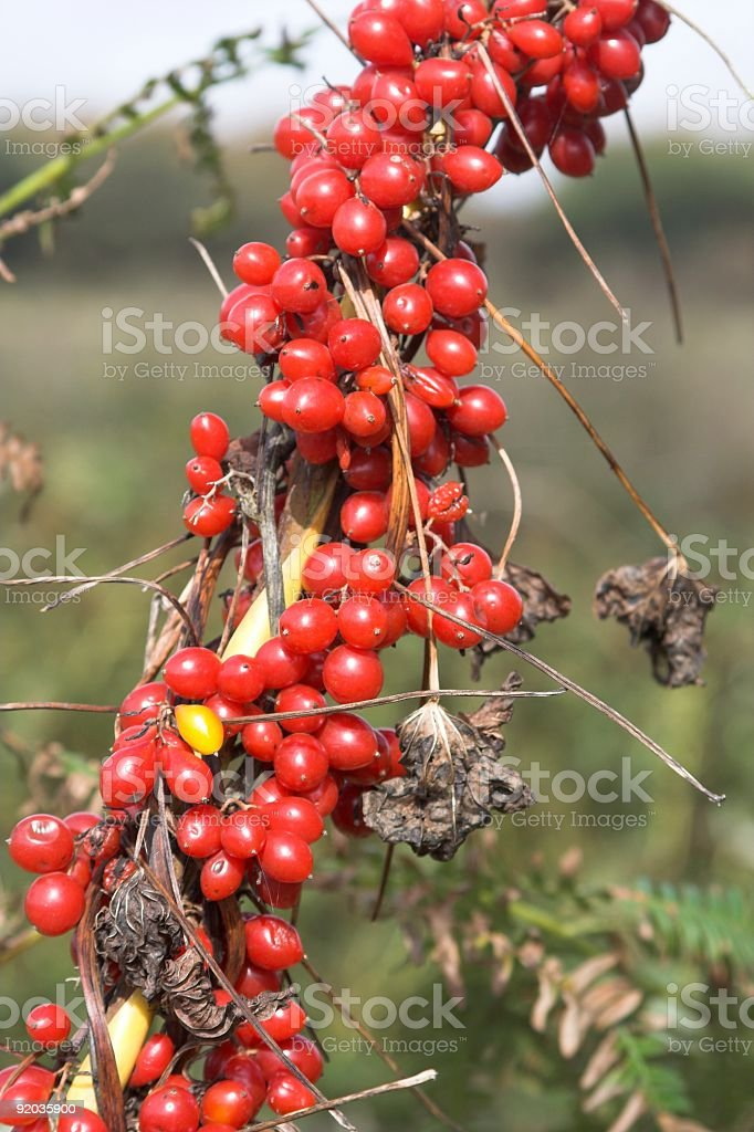 Black Bryony Red Berries stock photo