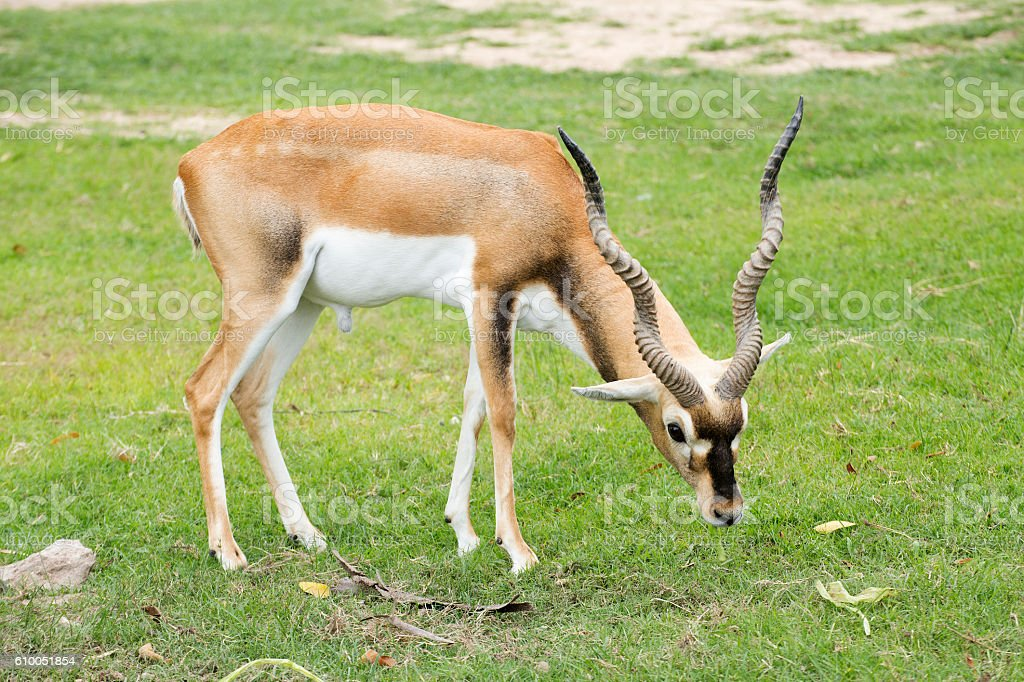 Black buck looking for something stock photo