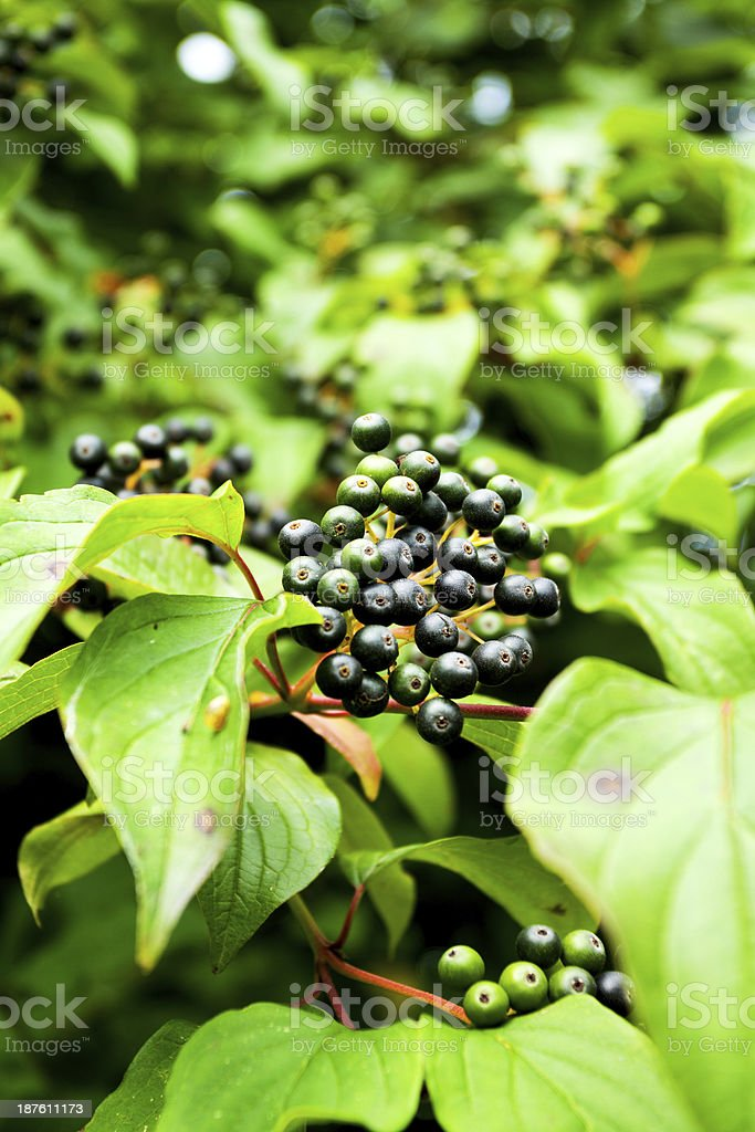 Black buckthorn stock photo