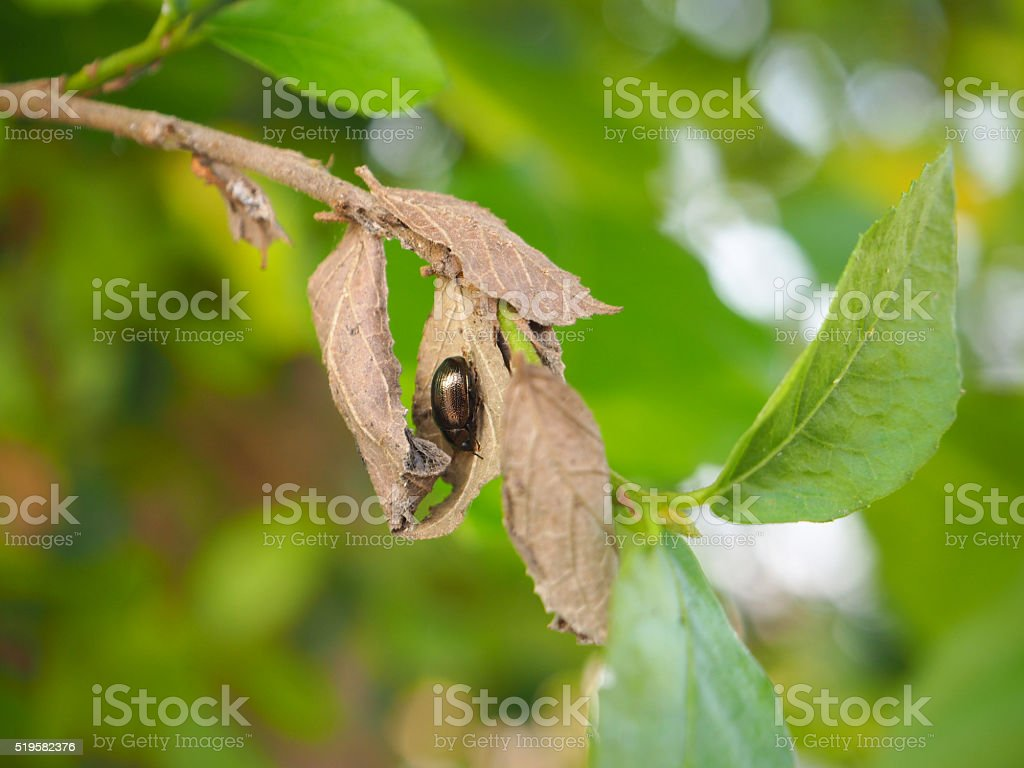 Black bug on dried and withered leaf stock photo
