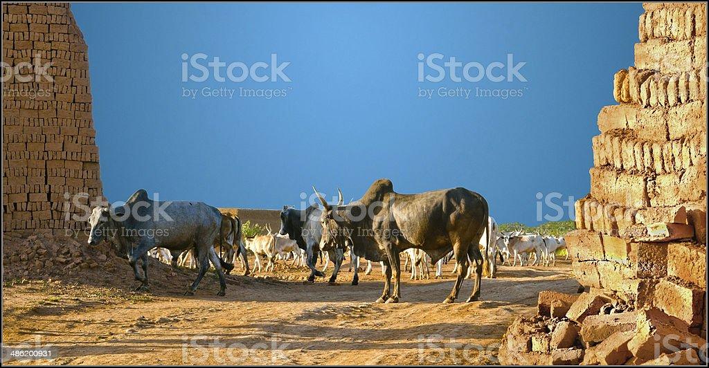Black Bull stock photo