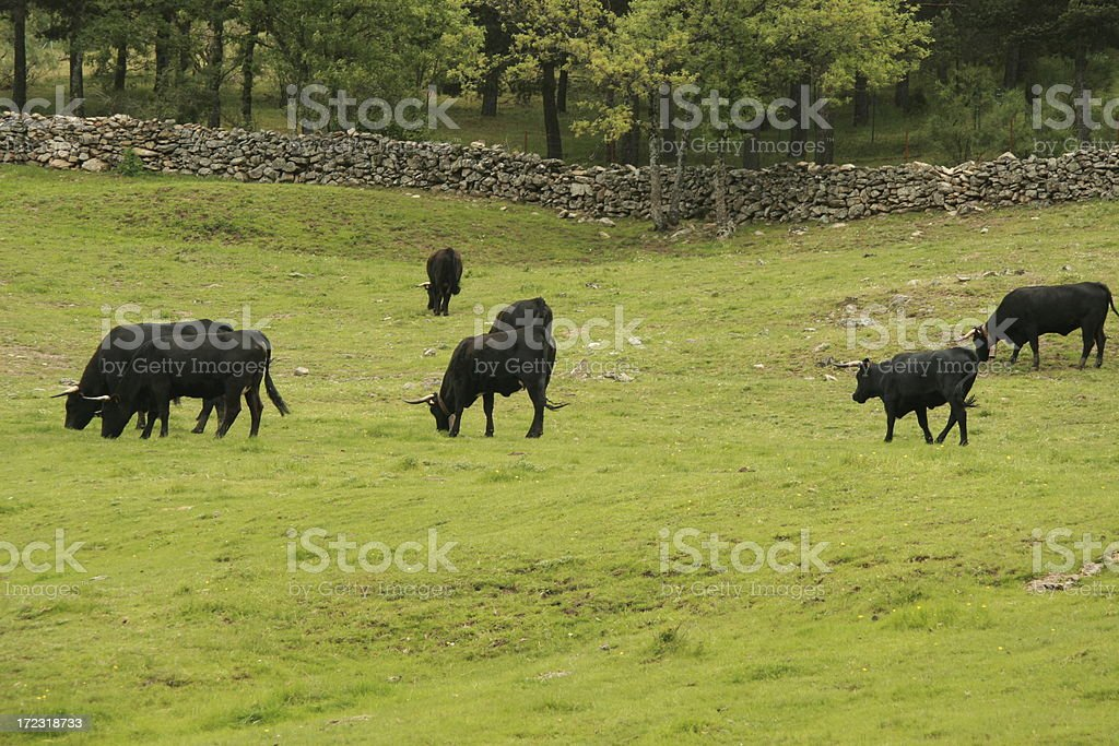 Black bulls and cows stock photo