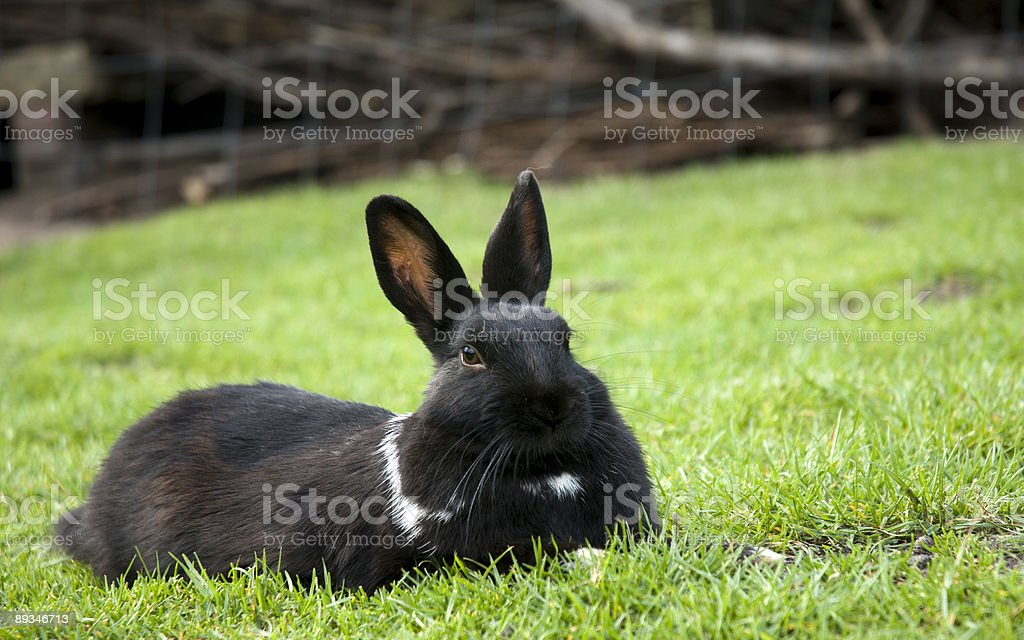 Black Bunny stock photo