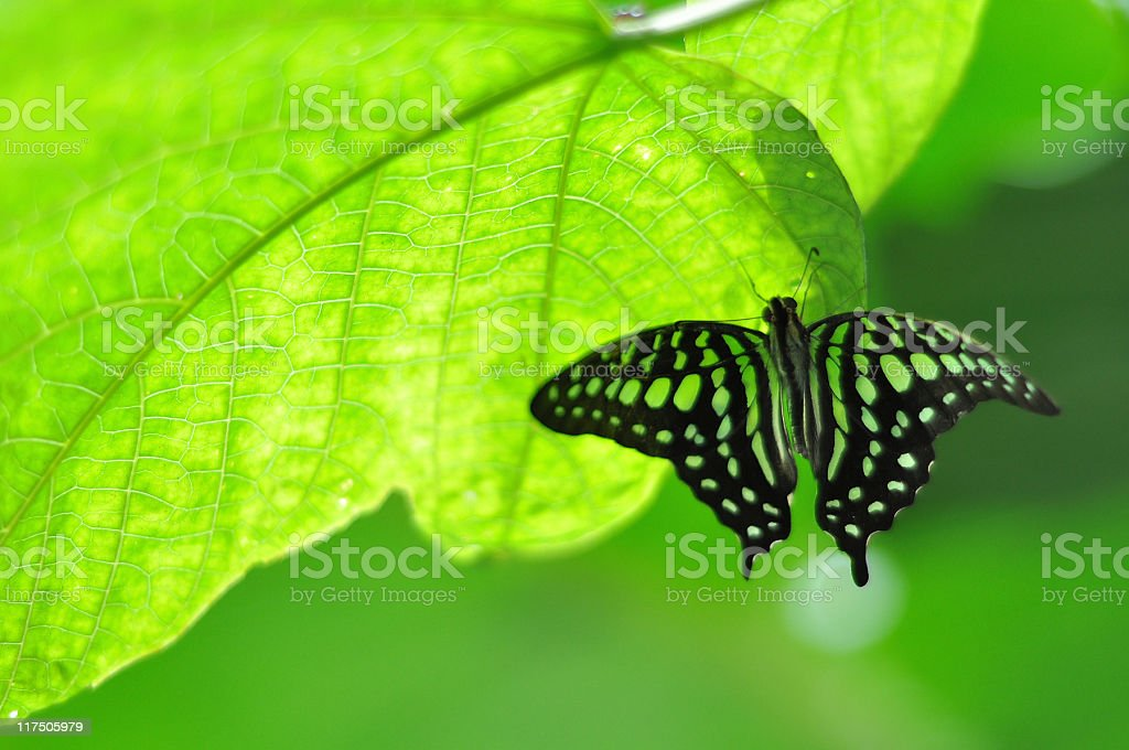 Black butterfly and green leaf background stock photo