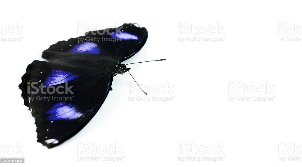Black Butterfly isolated on white stock photo