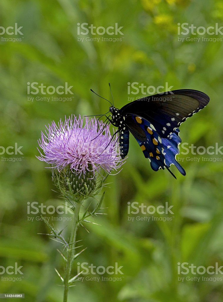 Black Butterfly on a Purple Thistle royalty-free stock photo