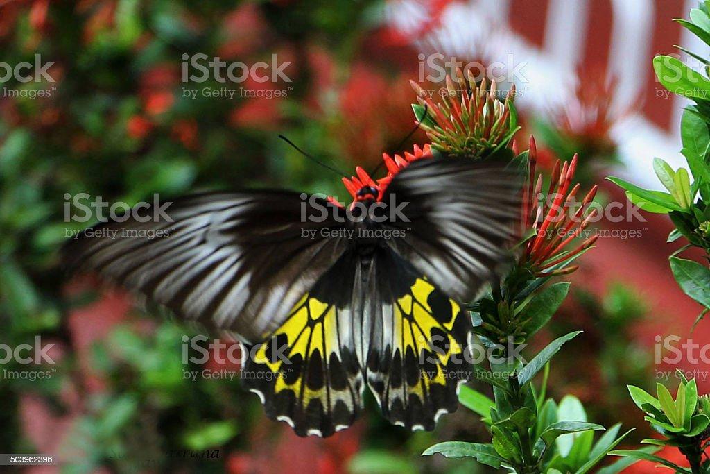 Black butterfly on flower stock photo