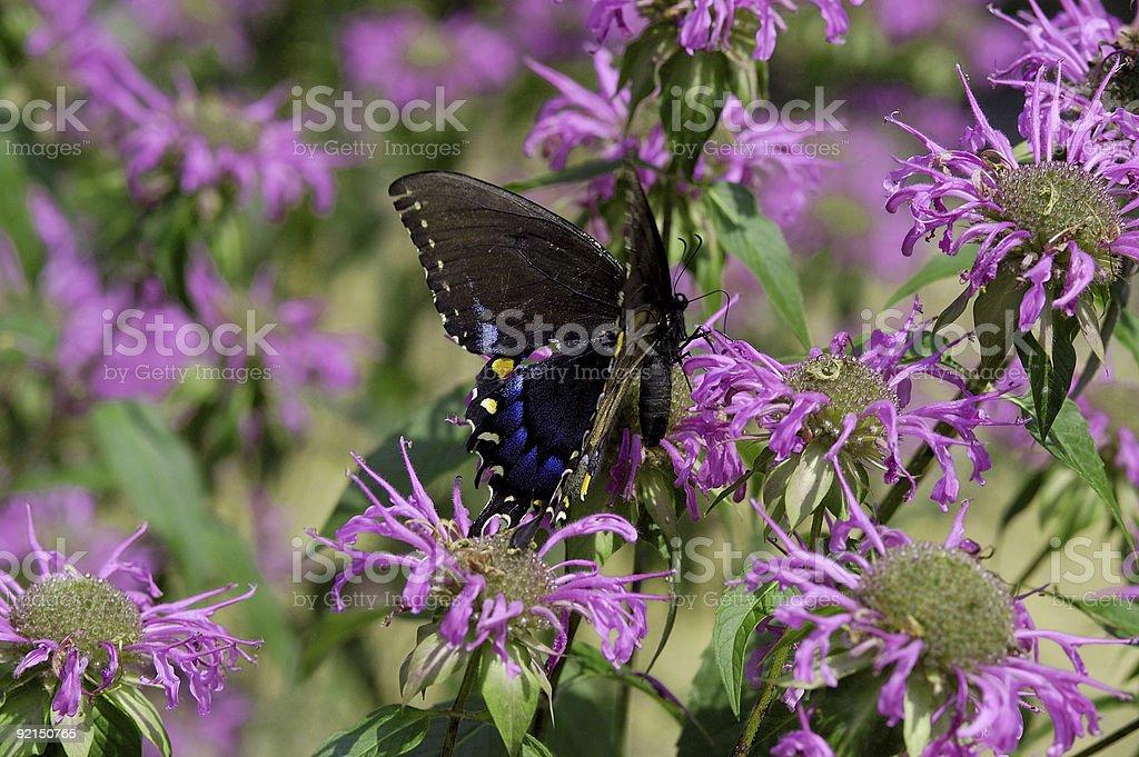black butterfly on purple flowers royalty-free stock photo