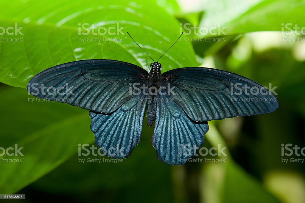 Black butterfly over green leaf stock photo
