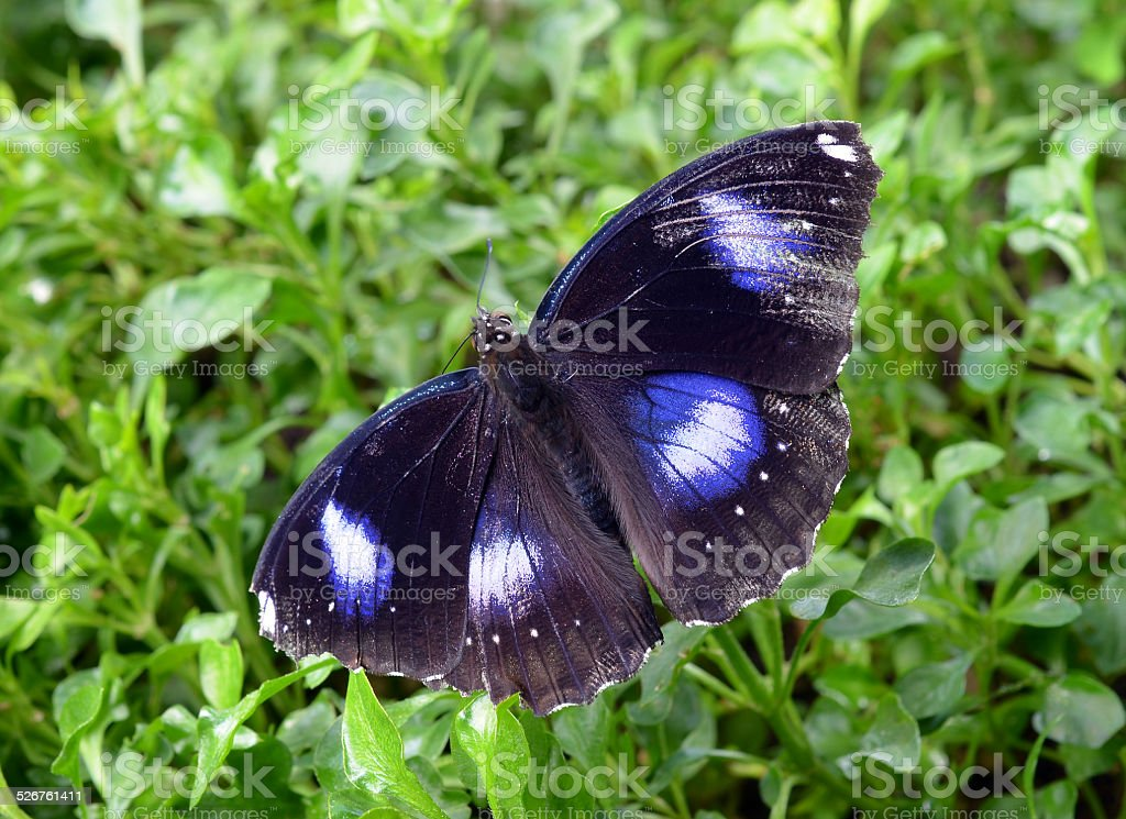 Black Butterfly stock photo