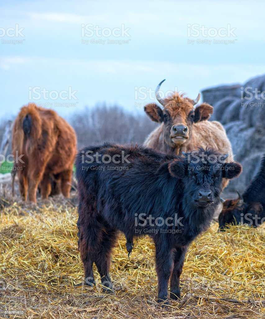 black calf (meat breed) at farm stock photo