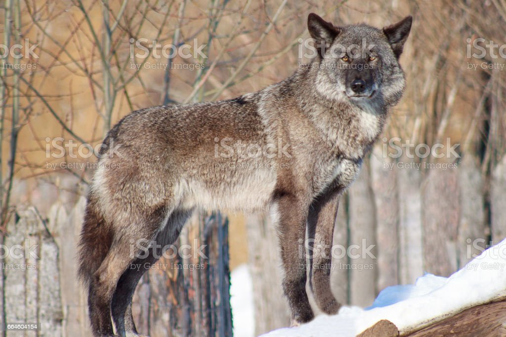 Black Canadian wolf looks out for its prey. stock photo