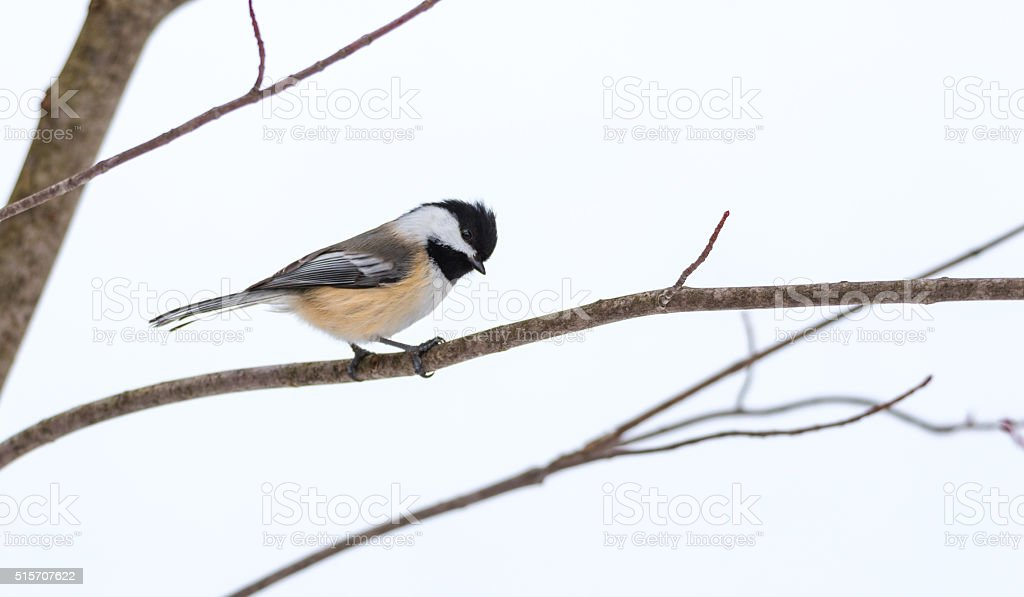 Black cap chickadee, Poecile atricapillus, on a branch. stock photo