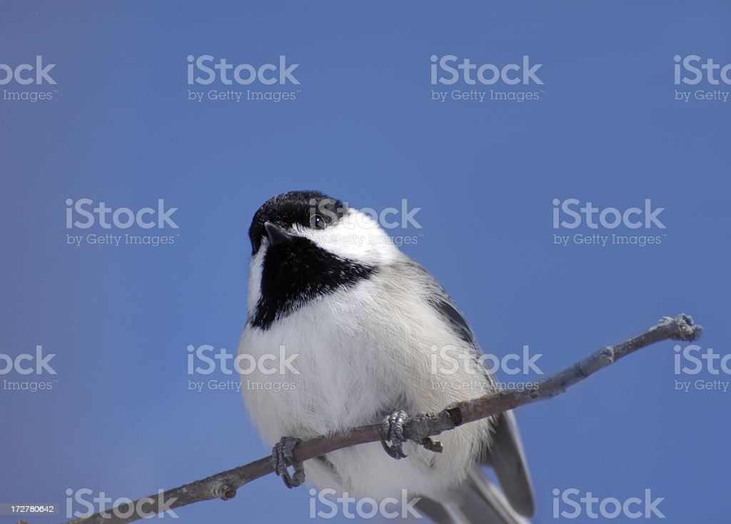 Black capped Chickadee 2 stock photo