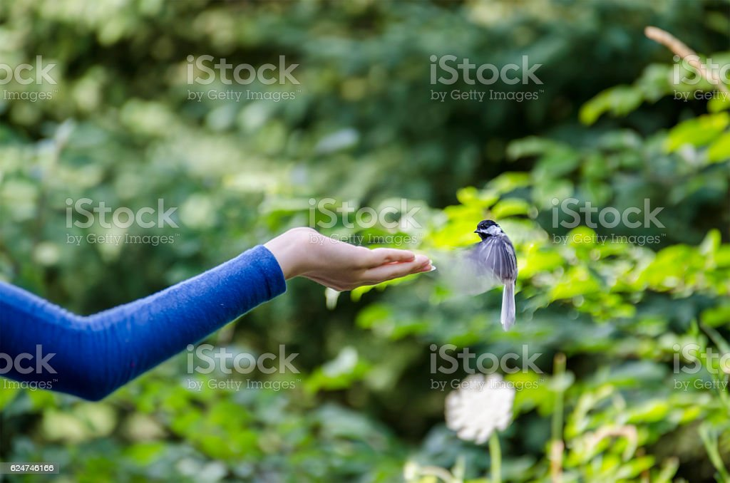 Black capped chickadee bird hovering over hand for feeding stock photo