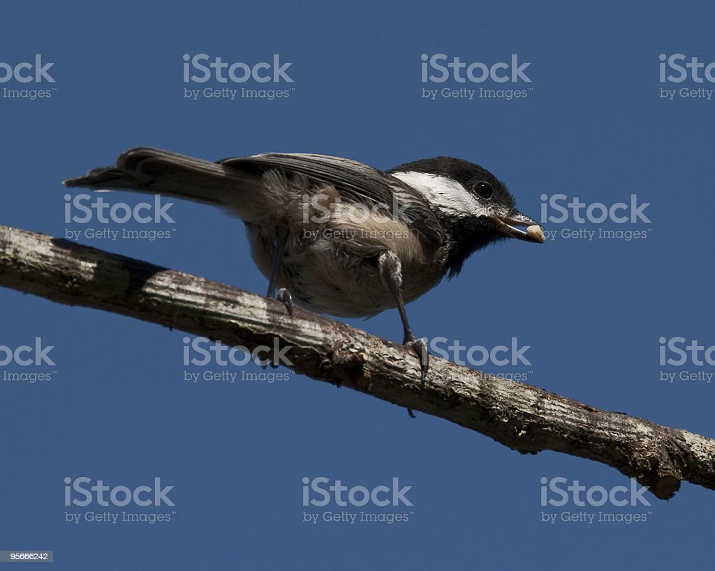 Black Capped Chickadee Holding a Nut stock photo