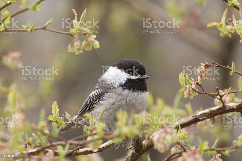 Black Capped Chickadee Perching in Tree royalty-free stock photo