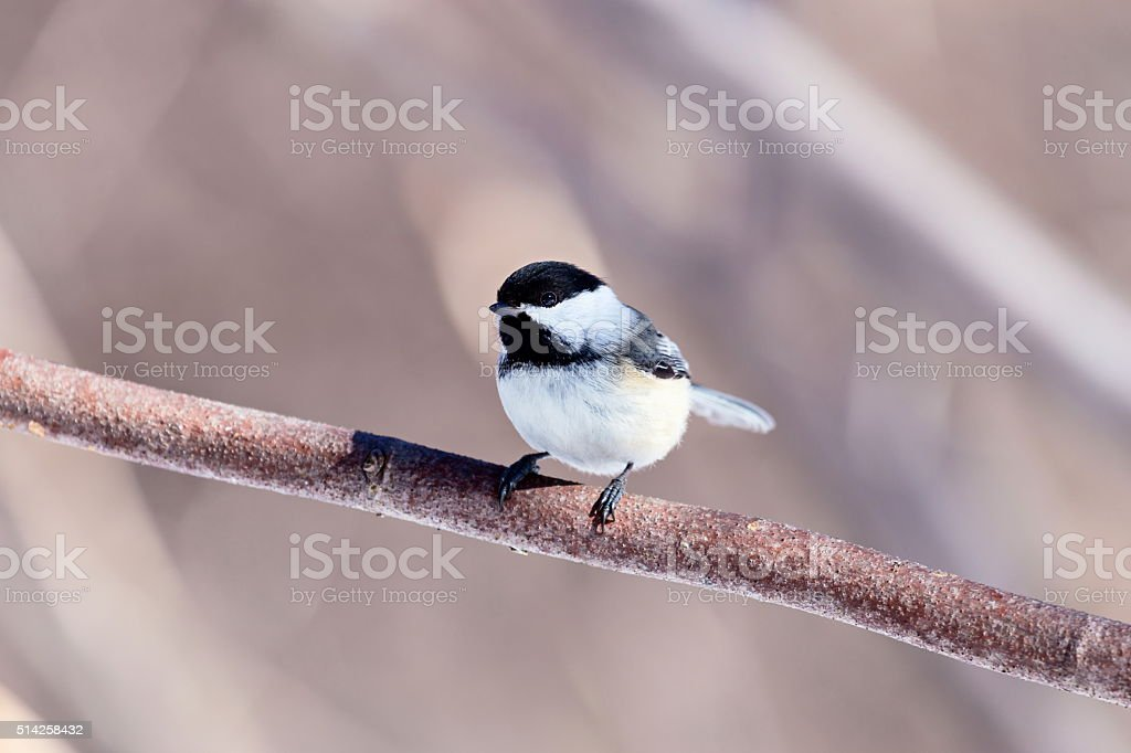 Black Capped Chickerdee. stock photo