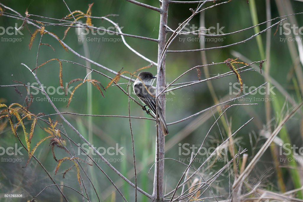 Black Capped Gnatcatcher Songbird on Cypress Tree stock photo
