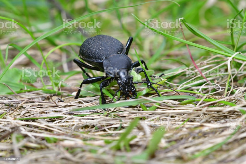 Black Carabid in the grass stock photo