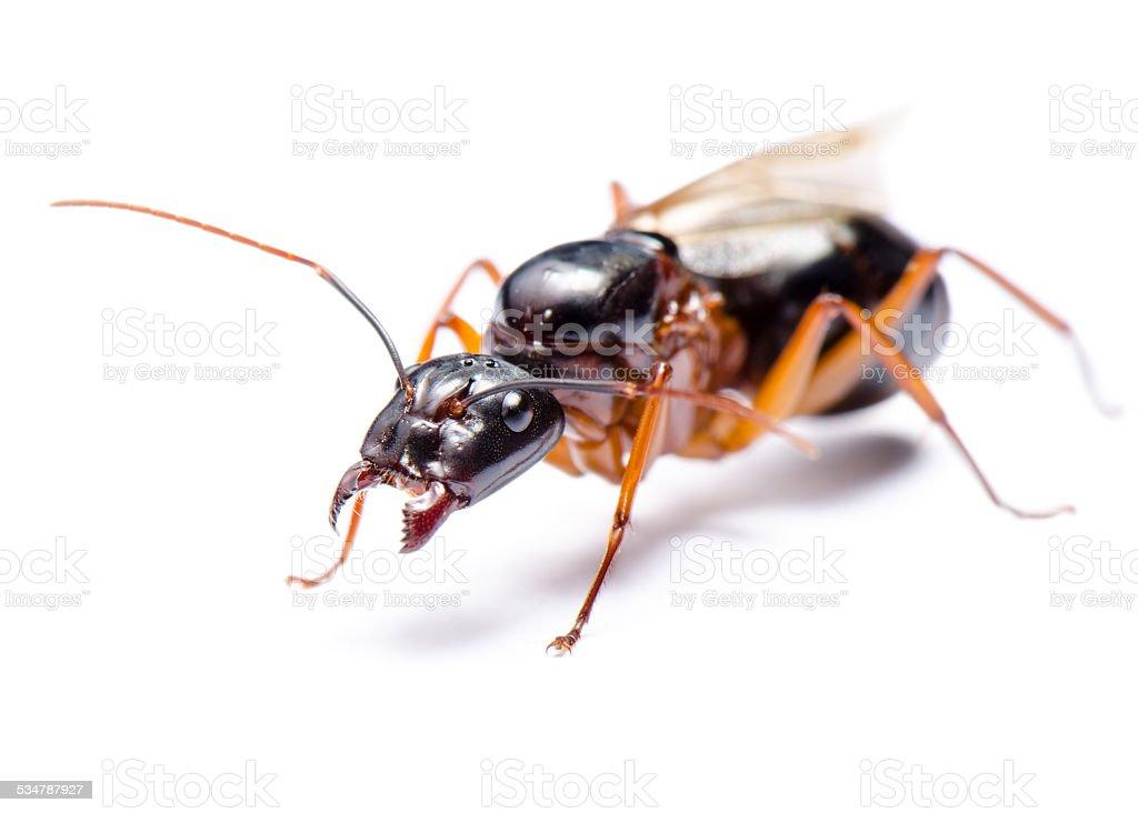 Black Carpenter Ant (Camponotus pennsylvanicus) stock photo