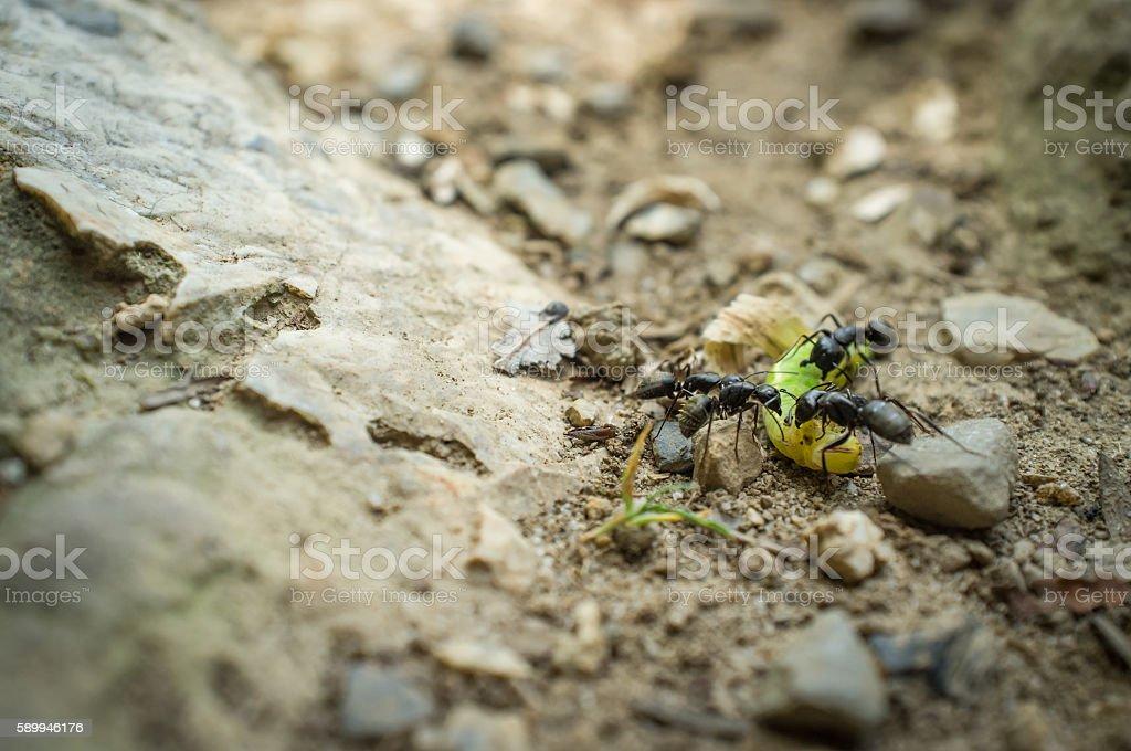 Black Carpenter Ants Eating stock photo