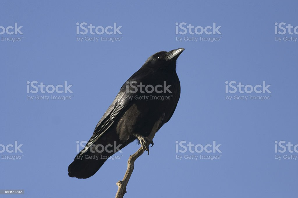 Black carrion crow perched on branch harbinger of death stock photo