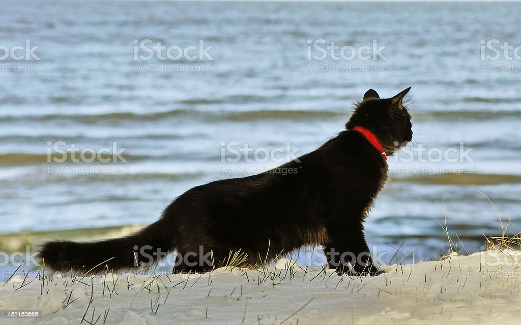 Black cat at the sea. stock photo