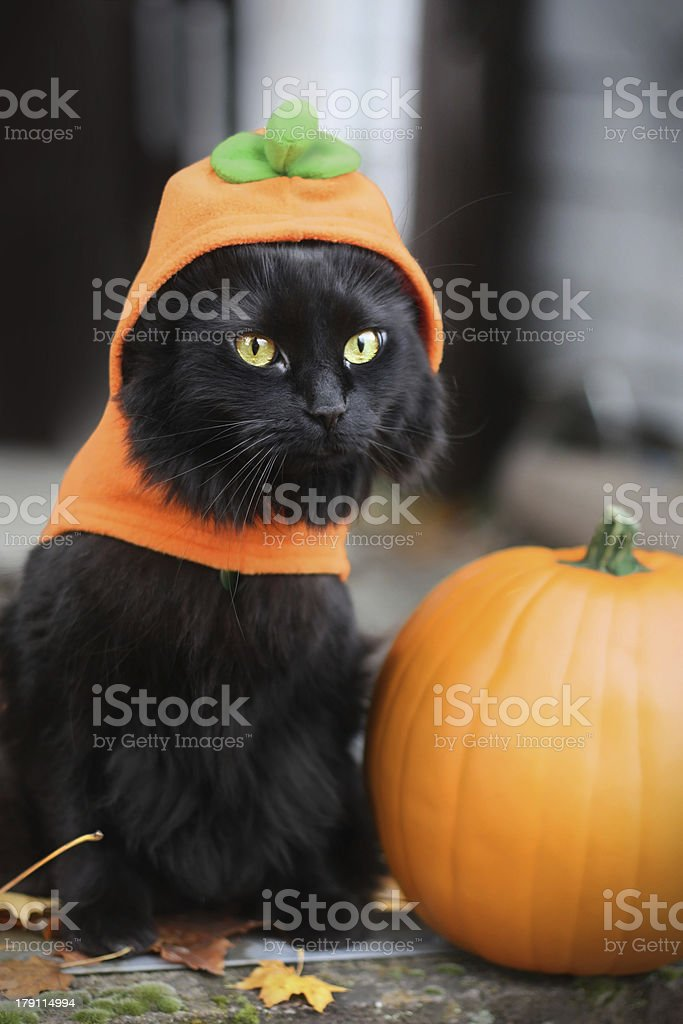 Black Cat Dressed as Pumpkin stock photo
